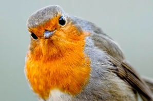 Robin Europeo